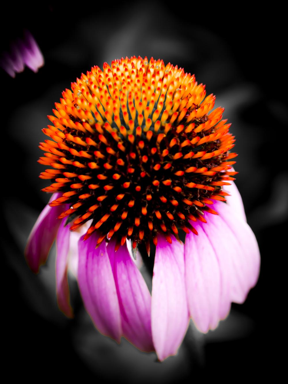 Purple Cone Flower.JPG