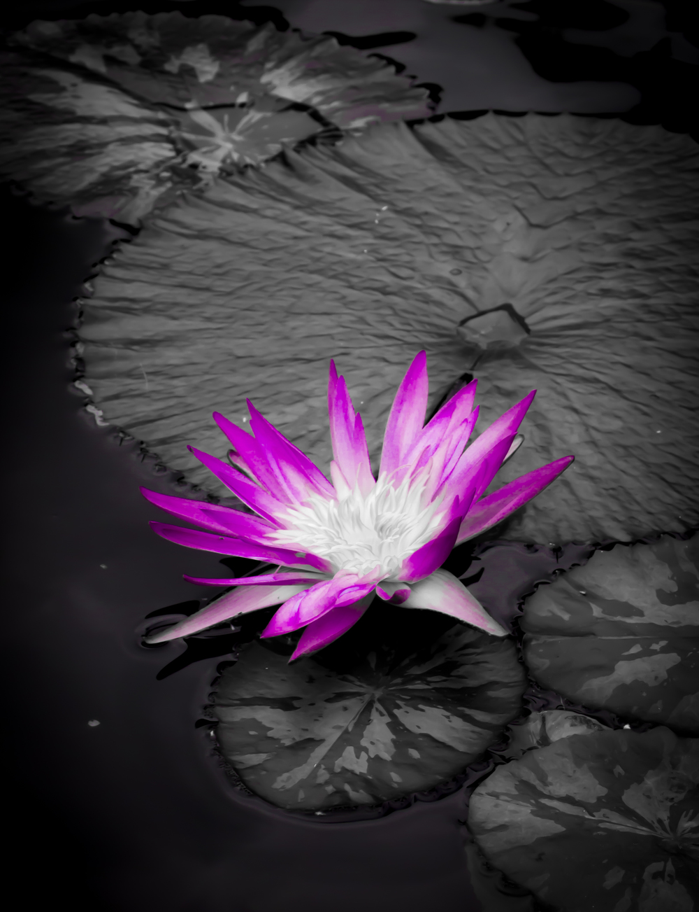 Purple Waterlily.JPG