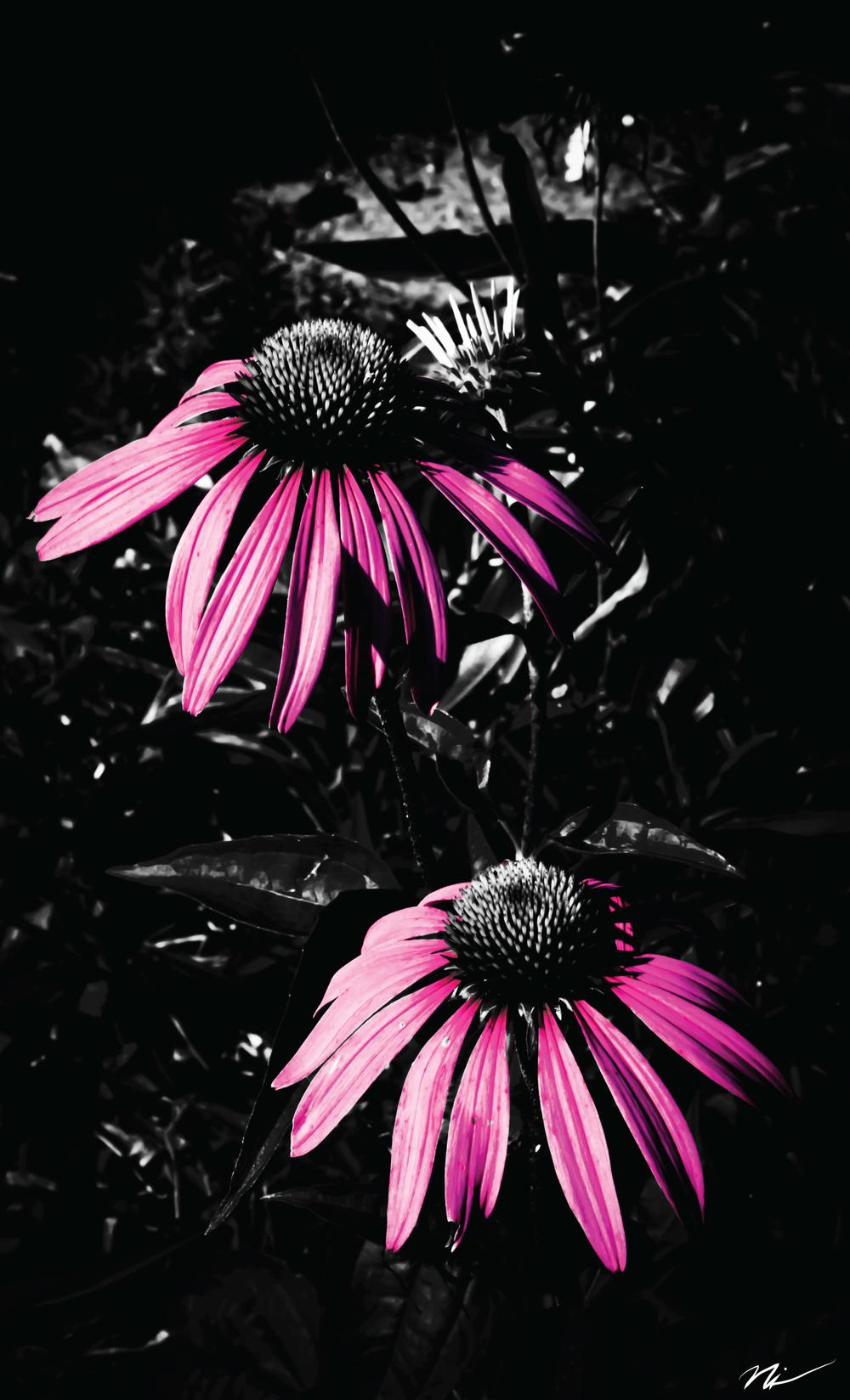 Cone-Flowers.jpg