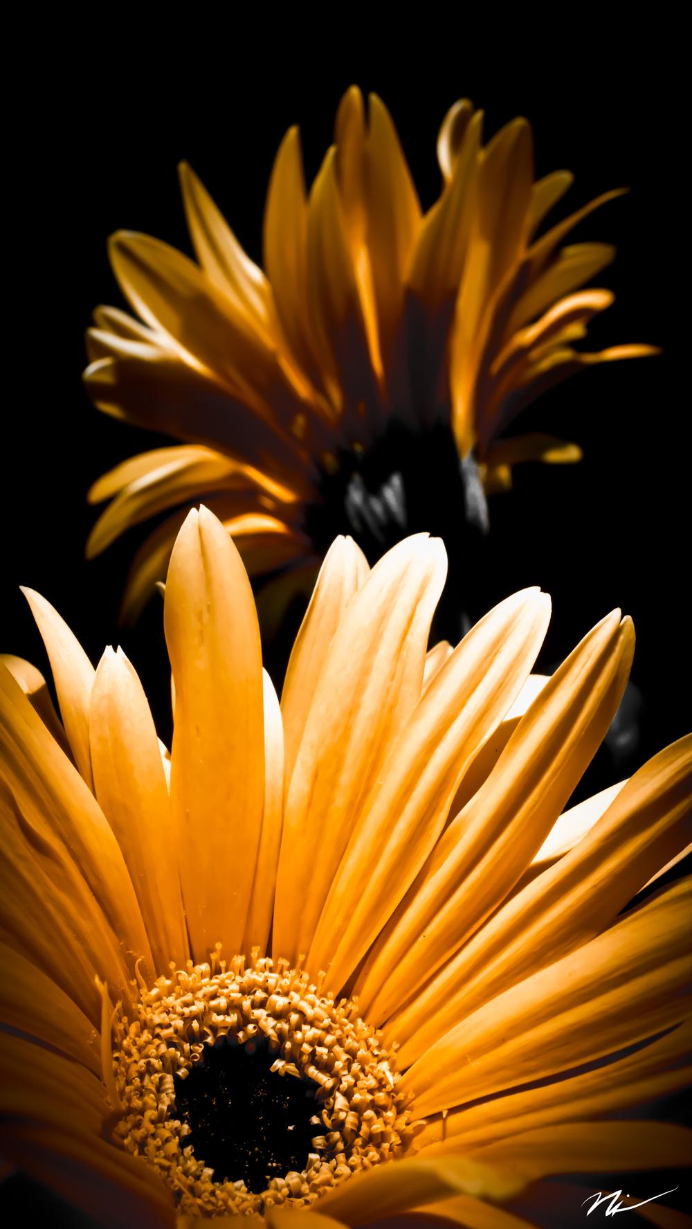 Yellow Gerbera Daisy.jpg