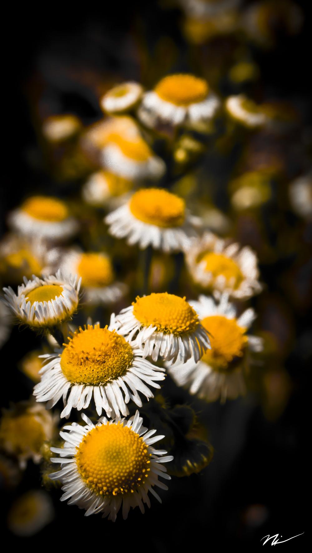 Small Yellow Daisies.jpg