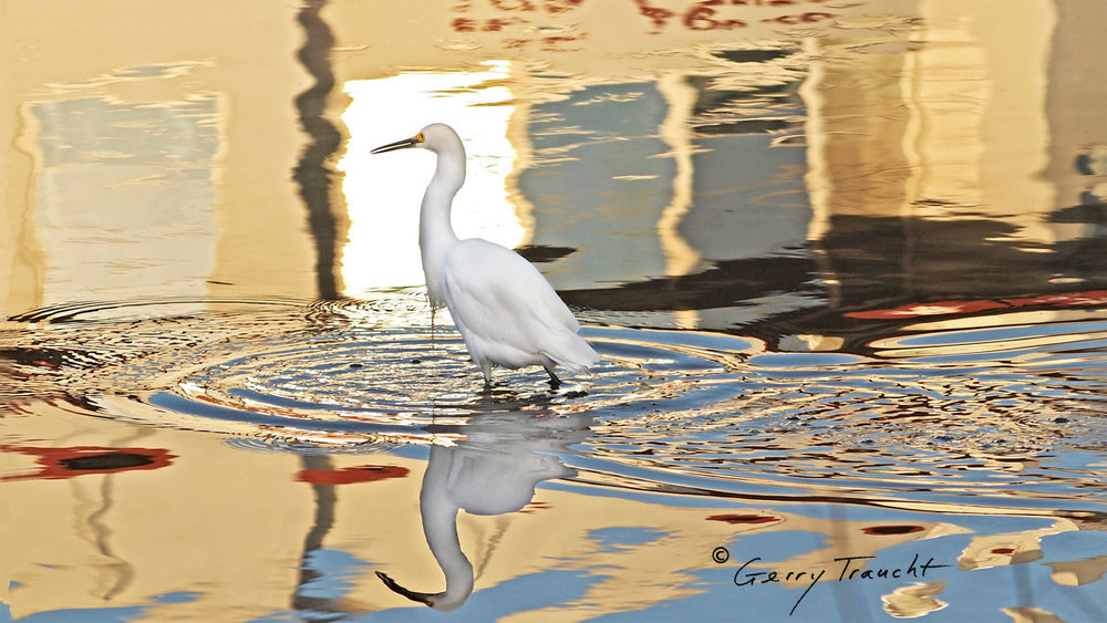 "On a rare and spectacular night, like the opening of an opera, the egret clears the water of other birds and steps into this mirage as it forms from what was, moments before, a simple reflection.    ""From the lagoon, an egret, accompanied by an ibis, approaches the windows of the city. Entering an inexplicable moment, seemingly time in a double ikat of light, they travel the eye of the labyrinth, each from the other side.""  - from Gerry Traucht's  The Secret Lives of Egrets"