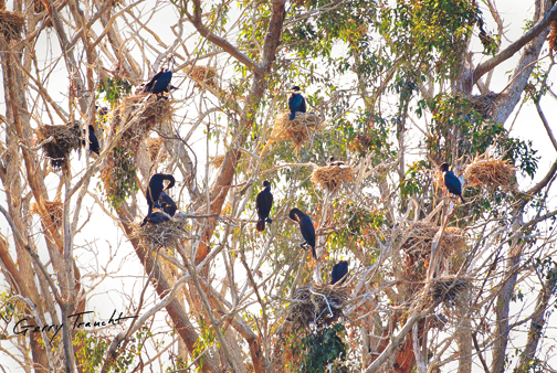 JEWEL CORMORANTS