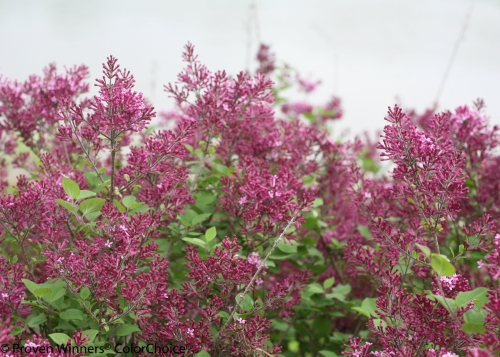 bloomerang_dark_purple_syringa-3.jpg