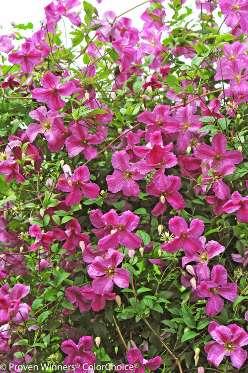 Height 9 - 10' Spacing 6 - 6.5' Exposure Plant in sun or partial shade Hardy Temp -30°F (-34°C) Uses specimen plant, borders, trellis Features Pink flowers; rebloomer; easy-to-grow Type Deciduous Bloomtime Summer Flower Color Pink Foliage Color Green Zone 4 - 8