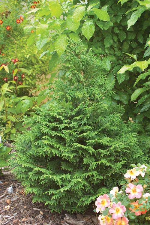 Height 6 - 10' Spacing 6 - 10' Exposure Plant in sun or partial shade Hardy Temp -20°F (-28°C) Uses Shrub borders, hedges, specimen, perennial borders and containers. Features Evergreen with soft, bright green leaves flecked silver blue underneath. Compact. Elegant soft texture. Deer resistant. Zone 5 - 8