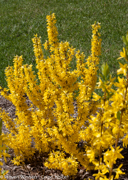 Height 1.5 - 2.5' Spacing 2 - 3' Exposure Full sun. Features Bright yellow early spring flowers. Dwarf habit. Outstanding flower display. Deer resistant. Type Deciduous Bloomtime Spring Zone 4 - 9