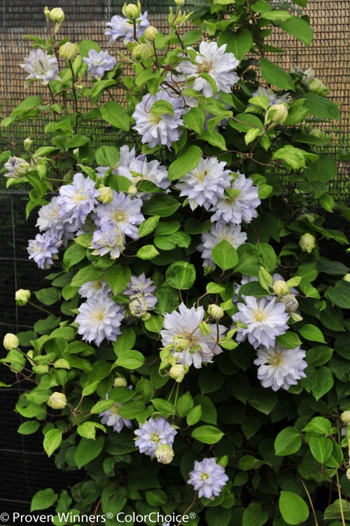Height 5 - 6' Spacing 2 - 3' Exposure Plant in sun or partial shade Hardy Temp -30°F (-34°C) Features Prolific bloomer; easy-to-grow Soil Prefers moist, deep, well-drained soils. Pruning Prune minimally in spring, no more than 3' from the base. Type Deciduous Bloomtime Summer Flower Color White-blue Zone 4 - 8