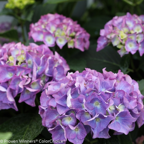 Height 2 - 3' Spacing 3 - 4' Exposure Sun or partial sun Hardy Temp -20°F (-28°C) Uses A dramatic centerpiece for mixed container designs. Also great for mixed borders and perennial gardens. Features Small to medium sized early blooming hydrangea with large, longlasting flowers. Mildew resistant. Flower color is affected by soil pH. Compact. Soil Prefers moist, well drained soils. May need winter protection in northern climates. Pruning Prune to shape after flowering. Type Deciduous Bloomtime Summer Flower Color Blue-Purple Foliage Color Green Zone 5 - 9 Awards Way Hot 100 Garden Design Magazine