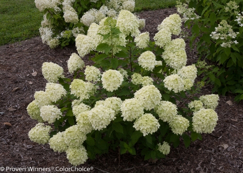 Height 3 - 5' Spacing 5 - 7' Exposure Sun or partial sun Hardy Temp -40°F (-40°C) Uses Excellent for the mixed border or foundation plantings. This compact, hardy hydrangea fits easily into smaller landscapes. Features Dwarf hydrangea produces green summer flowers that turn pink in fall. Dwarf 'Limelight'. Blooms every year. Hardy. Soil Adaptable to most well-drained soils. Bloom color is not affected by soil pH. Pruning Prune back in late winter/early spring. Type Deciduous Bloomtime Summer Flower Color Green Foliage Color Green Zone 3 - 8 Awards 2011 Best New Plant ANLA Management Clinic; Bronze Medal - Green is Life (Poland), 2013; Gold Medal Plantarium 2013