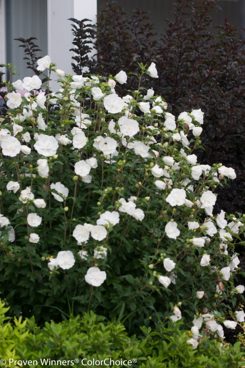 Height 8 - 12' Spacing 6 - 7' Exposure Full sun Hardy Temp -20°F (-28°C) Uses Great large shrub for landscape use, young plants can be used in containers but will need to be moved to the landscape as they mature. Can be trained into a small tree. This is an excellent plant for the mixed border or as a specimen plant. Features Large, pure white summer flowers. Adaptable and easy to grow. Deer resistant. Attracts butterflies. Soil Adaptable to most well drained soils. Pruning Prune to shape in late winter/early spring. Type Deciduous Bloomtime Summer Flower Color White Foliage Color Dark Green Zone 5 - 9 Awards Silver Medal Royal Boskoop Horticulture Society. Dallas Aboretum Approved Winner. 2002 Royal Horticulture Society Award of Garden Merit; Top Pick Dallas Arboretum