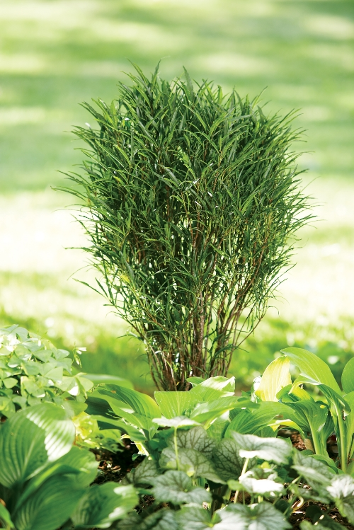 Height 5 - 7' Spacing 2 - 4' Exposure Sun or partial sun Hardy Temp -50°F (-45°C) Uses Great for a wide range of uses including narrow hedges or screens, accent specimen, patio planters, and combination planters. Good in perennial and shrub borders. Can be used to frame doors and pathways. Features Fernlike foliage turns yellow in fall. Ideal for containers and narrow beds. Do not eat the berries. Non-invasive. Deer resistant. Soil Adaptable to most soils. Pruning May be trimmed in late fall. Type Deciduous Bloomtime Summer Flower Color White Foliage Color Green Zone 2 - 8 Awards Silver Medal Royal Boskoop Horticulture Society; MOBOT Tried and True