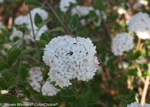 Height 3.5 - 5' Spacing 3.5 - 6' Exposure Plant in sun or partial shade Hardy Temp -30°F (-34°C) Uses Mixed borders, foundation plantings. Features Fragrant. White flowers. Compact. Deer-resistant. Soil Moist, well-drained soils. Pruning Prune after flowering. Type Deciduous Bloomtime Spring Flower Color White Foliage Color Green Zone 4 - 8