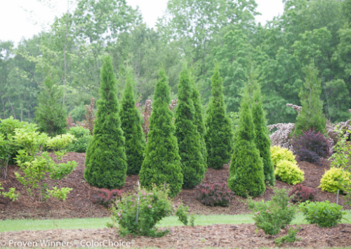 Height 10 - 15' Spacing 5 - 7' Exposure Sun or partial sun Hardy Temp -40°F (-40°C) Uses The tight, columnar habit makes this a great specimen or screen for narrow sites. Use as a bold accent plant in mixed borders. Features Narrow upright columnar habit is perfect for narrow sites as a specimen or screen. Little care is needed. Evergreen. Hardy, resists winter burn. Excellent landscape plant. Soil Prefers deep, well drained soils. Pruning Shear in early summer after spring growth has expanded. Type Evergreen Bloomtime N/a Flower Color N/a Foliage Color Green Zone 3 - 7