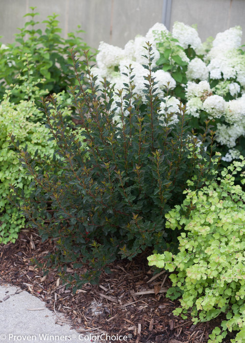 Height 3 - 4' Spacing 4 - 5' Exposure Full sun Hardy Temp -40°F (-40°C) Uses Mixed borders, hedges, foundation plantings. Features Native. White flowers. Bronze-maroon foliage. Very hardy. Soil Adaptable to most soils. Pruning Prune about a third of the branches to the ground in late winter. Type Deciduous Bloomtime Early summer Flower Color White Foliage Color Purple Zone 3 - 7 Awards Silver Medal, Plantarium