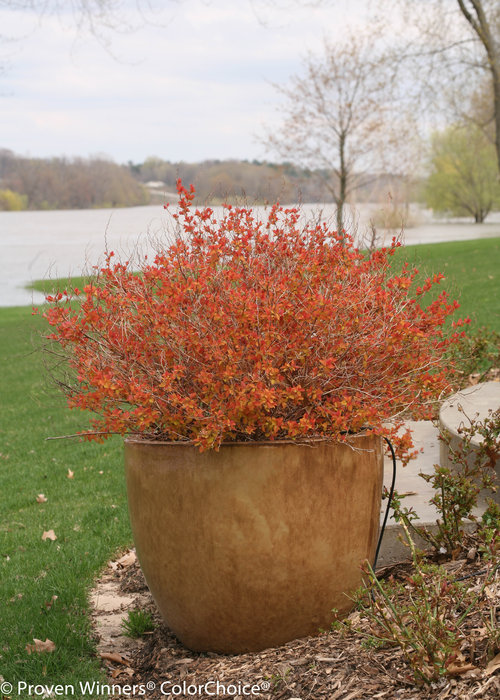 Height 2 - 3' Spacing 3 - 4' Exposure Plant in sun or partial shade Hardy Temp -40°F (-40°C) Uses This is an outstanding landscape plant! It is perfect for mass plantings or as part of the mixed border. Features Massive pink flowers bloom against the bright yellow foliage. Glowing orange spring foliage. Season long color. Deer resistant. Easy to grow. Soil Adaptable to most soils. Pruning Trim after flowering. Type Deciduous Bloomtime Summer Flower Color Pink Foliage Color Yellow Zone 3 - 9