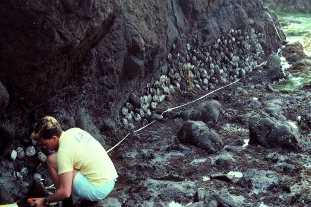 Black abalone on Santa Cruz Island, 1986