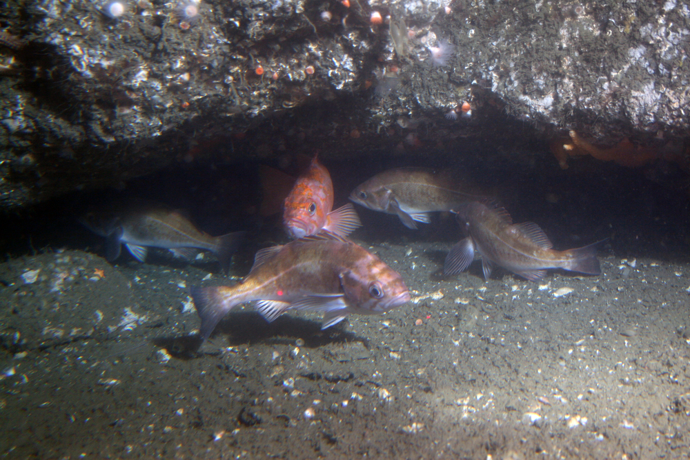 Rockfish off Point Lobos at 150m