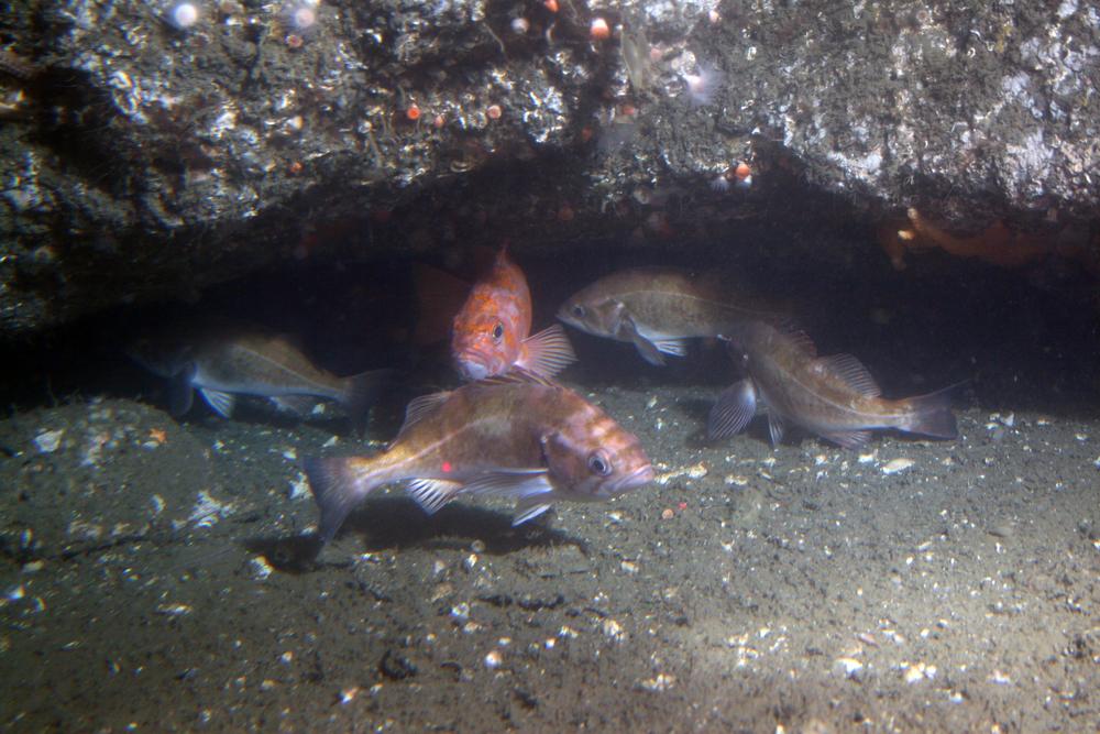 Rockfish off Point Lobos at 150m
