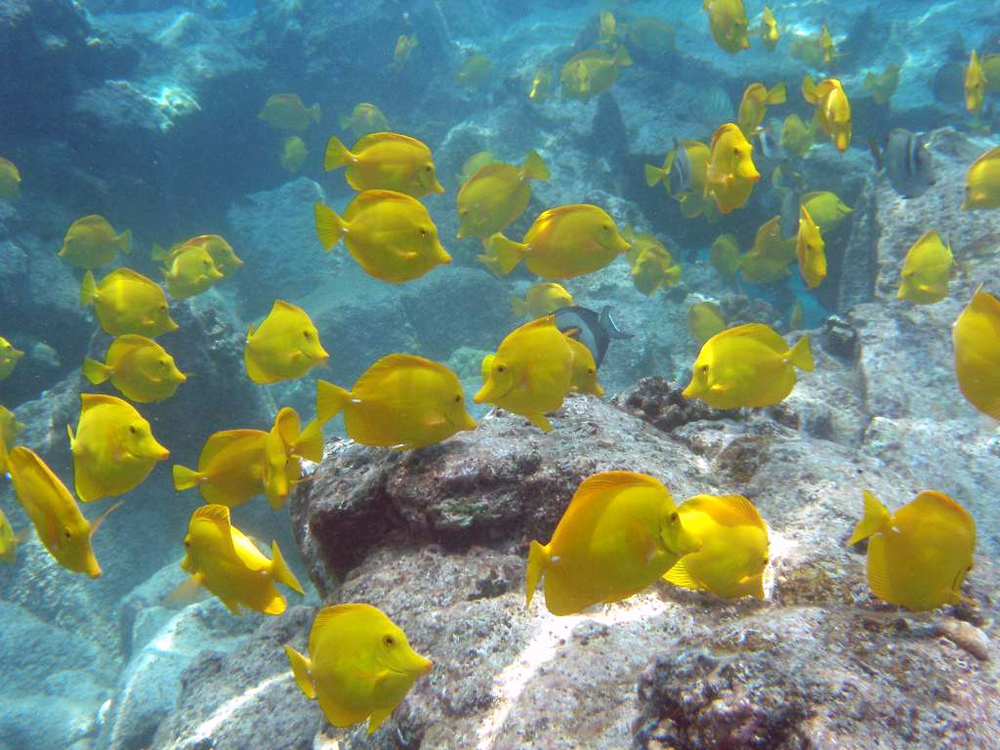 Yellow tangs in Hawaii. Photos: Bill Walsh