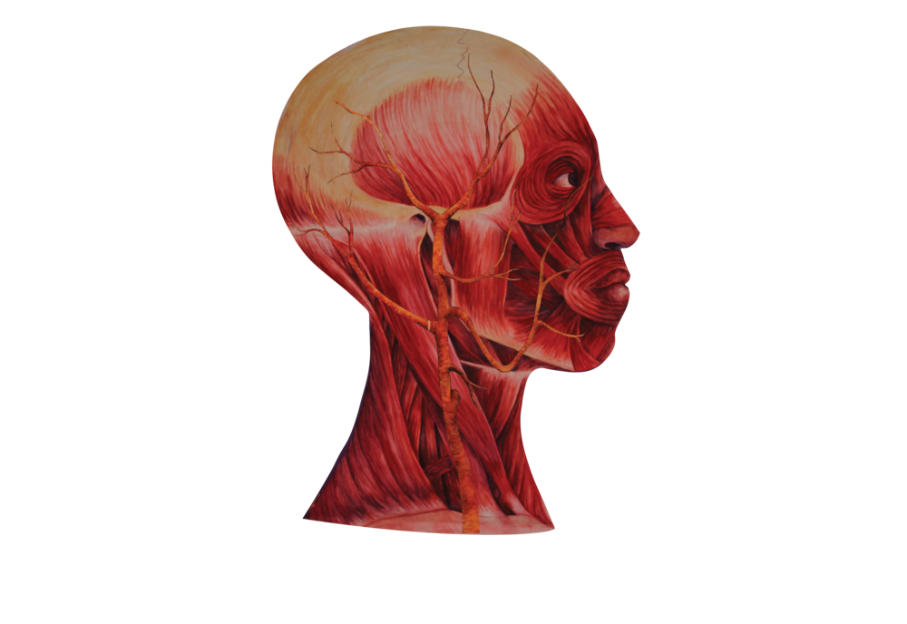 02 Heads Muscle w vascular .png