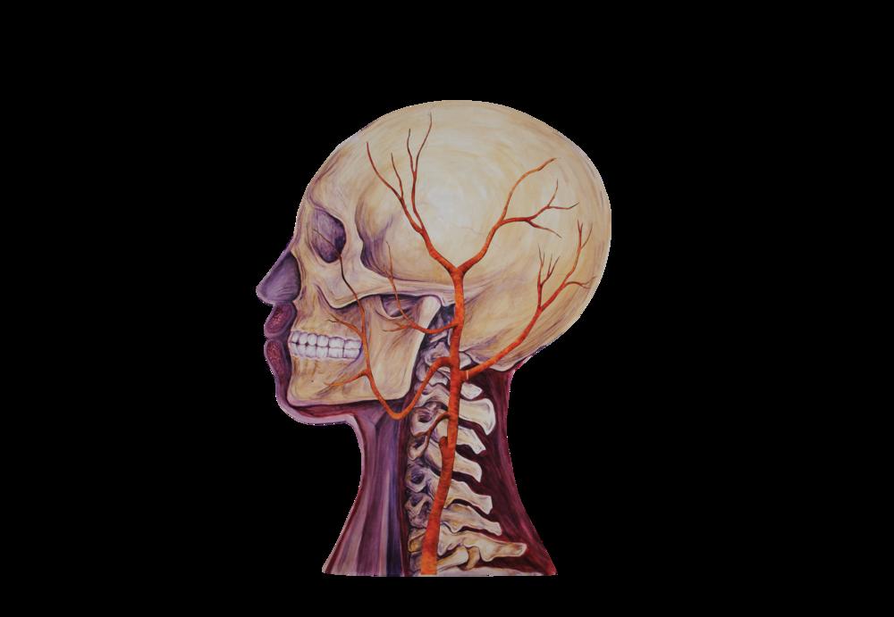 03 Heads Bone w vascular.png