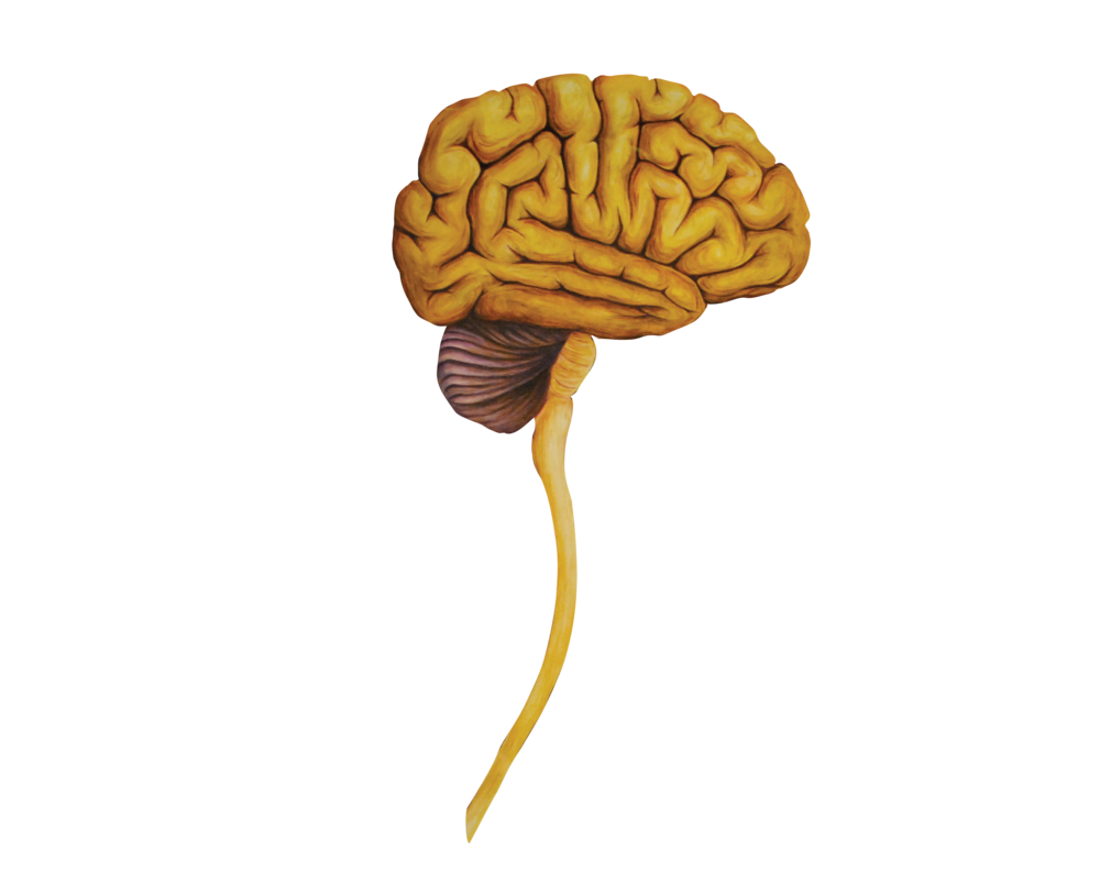 06 Heads Lateral Brain-01.png