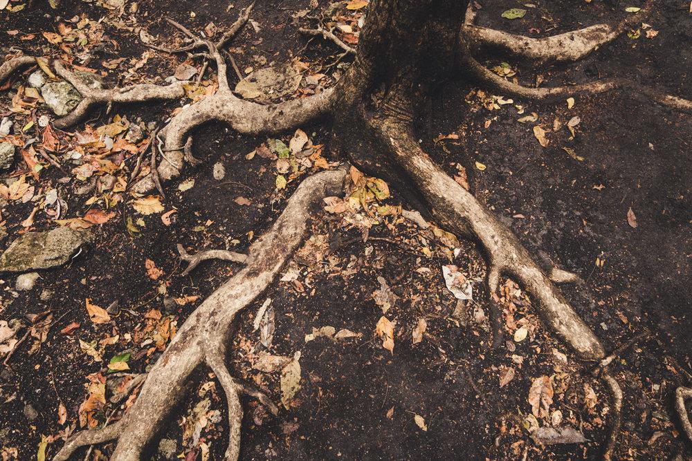 Ceiba tree roots.