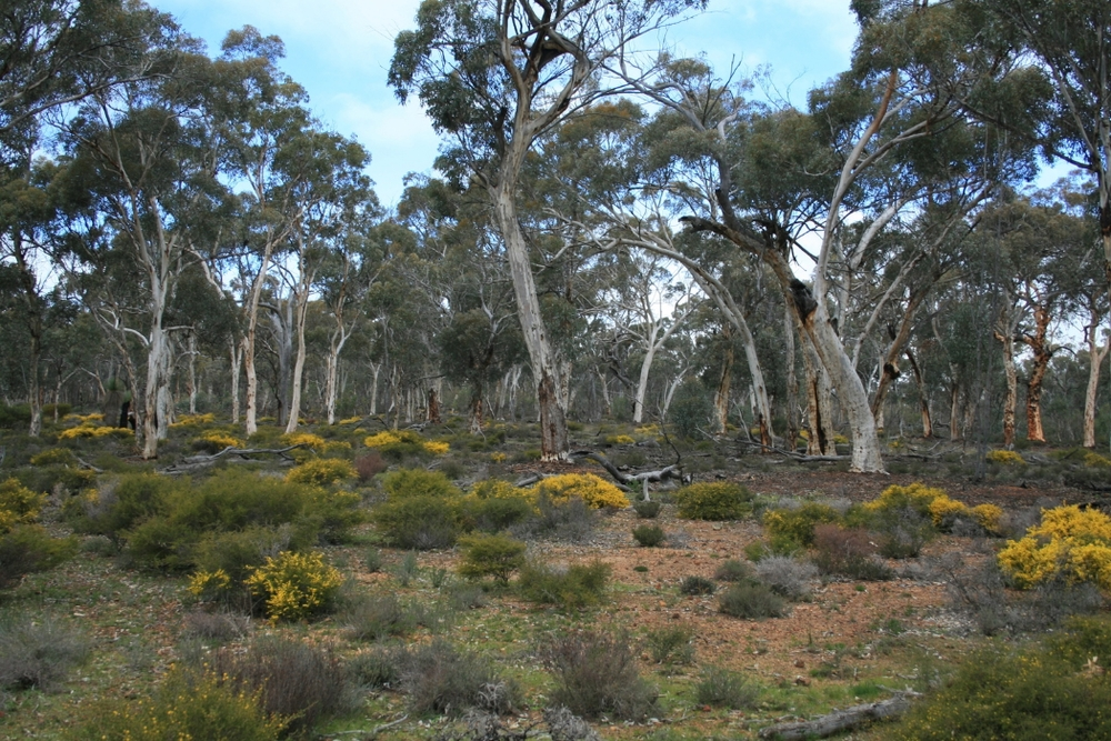 numbat habitat in a Wandoo woodland