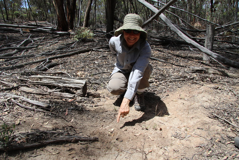 'Yay' we found a fresh numbat dig at Dryandra woodland - Nov 2017