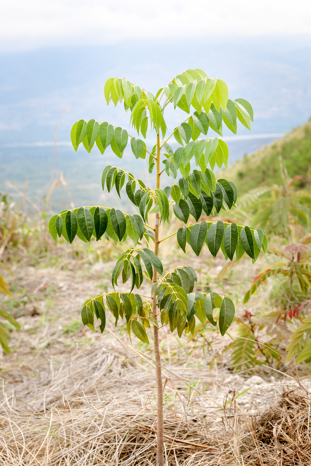 A young cashew tree in the mountains overlooking the Artibonite river -- Rondo, Haiti