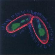 Tetrahymena thermopila | Conjugation