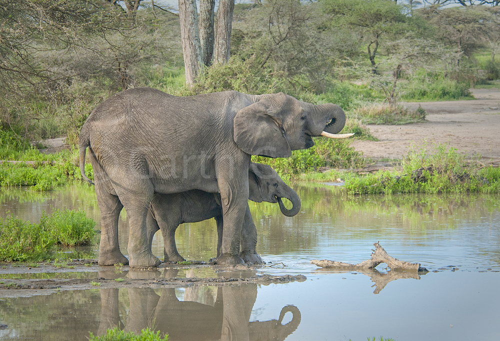 Elephants at waterhole-Lake Masek, Tanzania