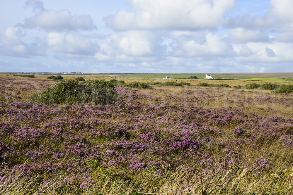 Field of heather, Islay