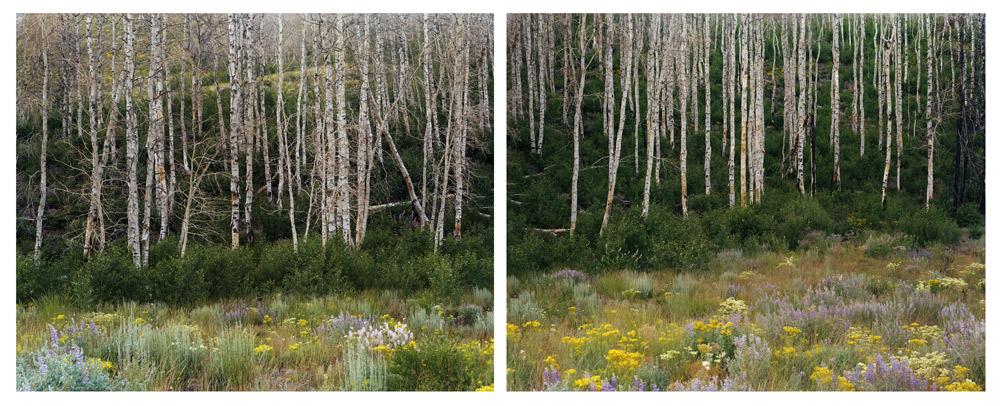 Midsummer (Aspen Regeneration), Idaho , 2008