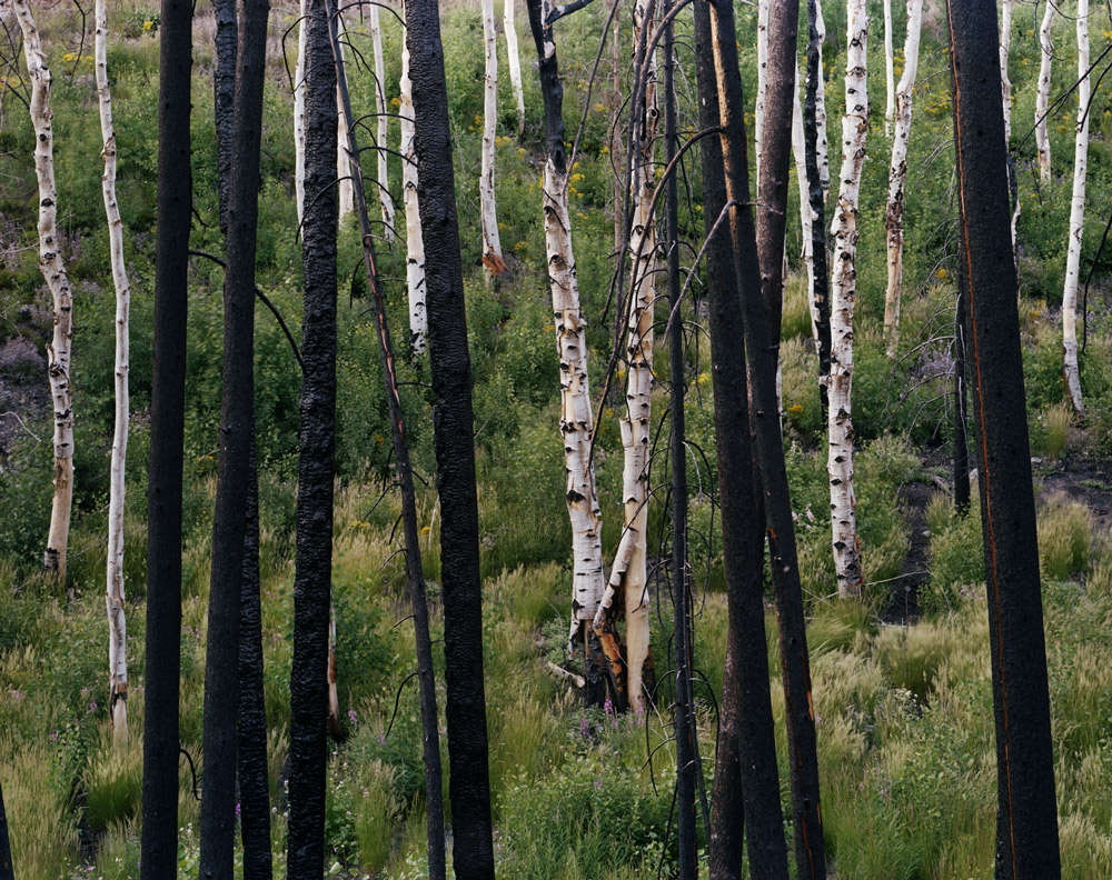 Midsummer (Lodgepole and Aspens), Idaho  , 2008