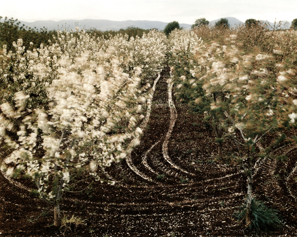 Cherry Trees Blossoming, Sparanise, Italy , 1994