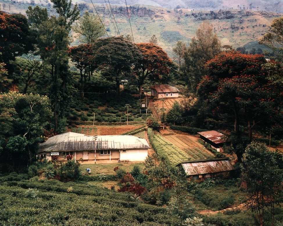 Somerset Tea Plantation Office and Flame Trees in the Jungle, Near Nuwara Eliya, Sri Lanka , 1993