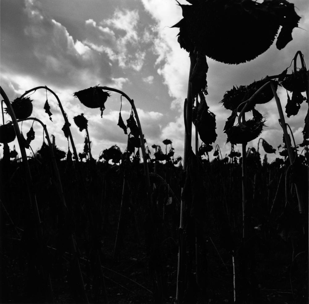 Untitled  (sunflowers), from the series  asor