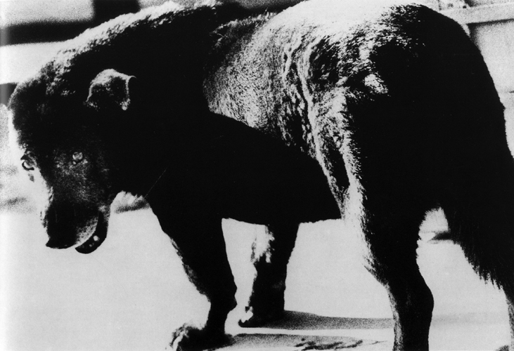 Daido Moriyama  Stray Dog, Aomori, Japan , 1971 14 x 17 inch Silver Gelatin Print