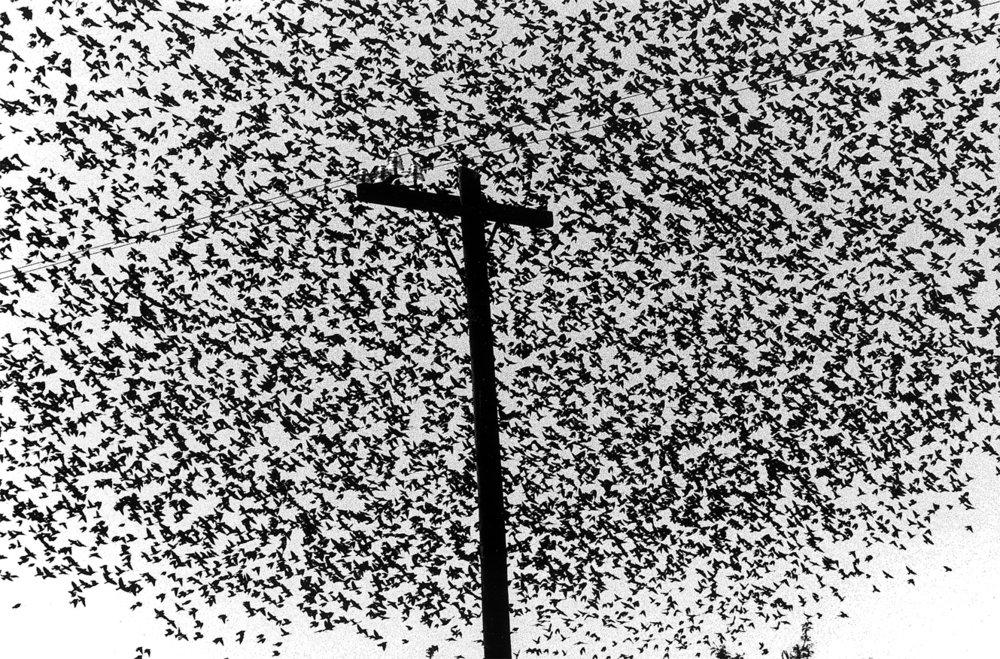 Graciela Iturbide    Pájaros en el poste de luz , Carretera a Guanajuato, Mexico, 1990  22 x 26 inch Platinum Print