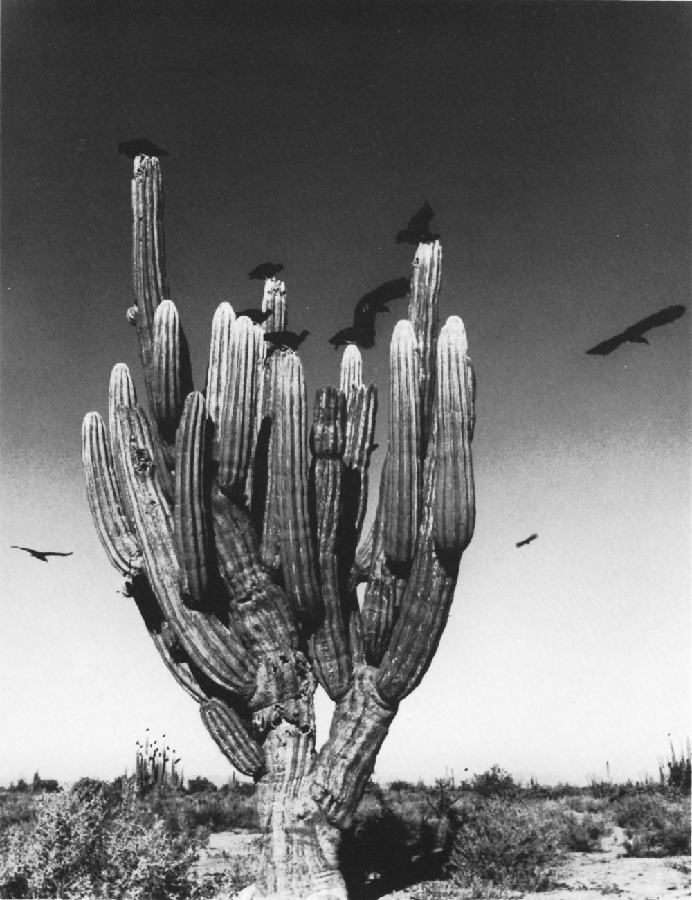 Graciela Iturbide    Sahuaro , Desierto de Sonora, Mexico, 1979  20 x 16 inch Silver Gelatin Print