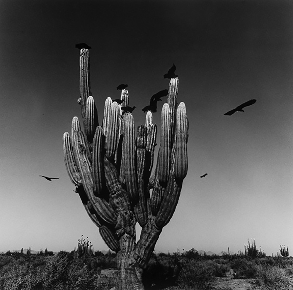 Graciela Iturbide   Sahuaro, Desierto de Sonora, Mexico , 1979 20 x 16 inch Silver Gelatin Print Signed by the artist in ink on recto From the collection of the artist Illustrated in: Los que viven en la arena, Instituto Nacional Indigenista, Mexico, 1981, page 64 GCP20397 $6,000