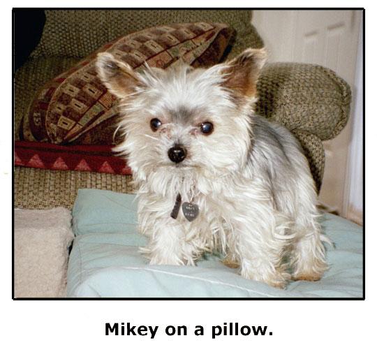 Precious Mikey Goe, the yorkie, passes away.