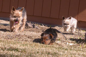 The Goes' pups: Sonny, Mikey, and Lillie