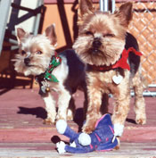 Mikey and Sonny, the Goes' precious Yorkie pups