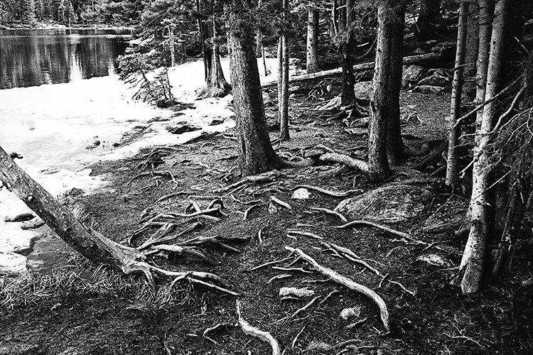 Melting snow reveals exposed tree roots high in Rocky Mountain National Park, Colorado.