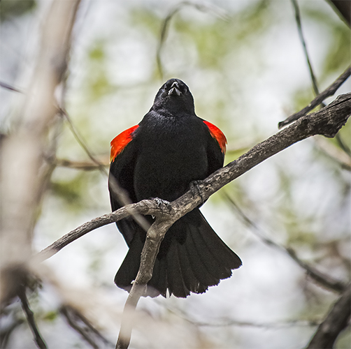 Red Winged Blackbird, Barr Lake State Park, Adams County Colorado.