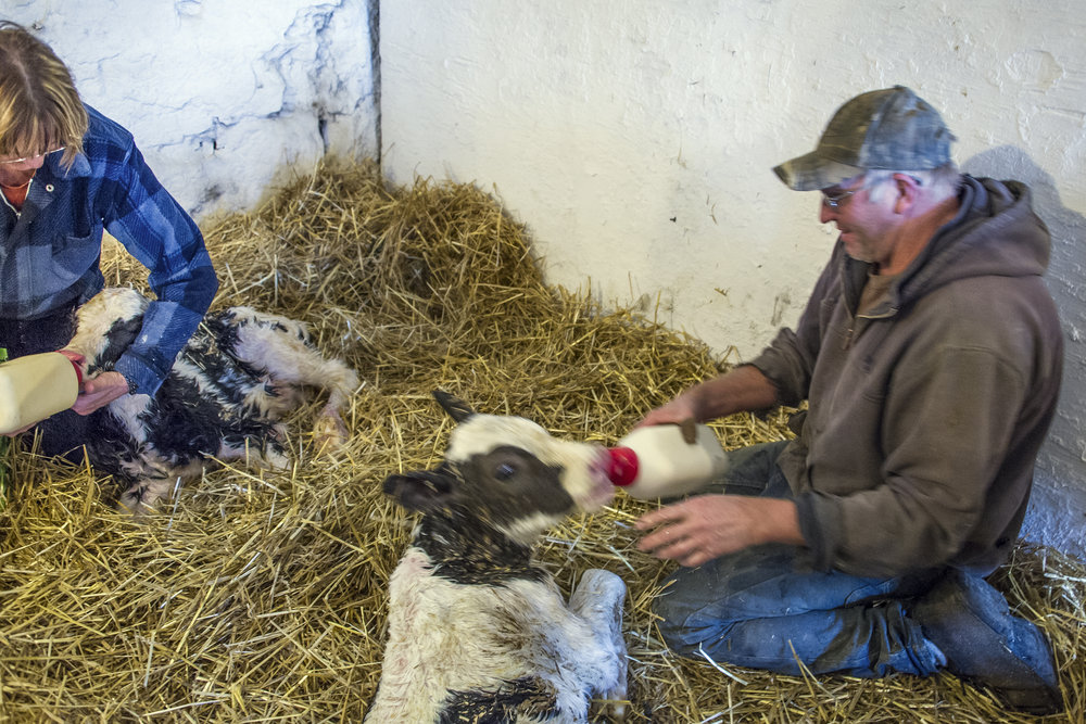 Taking care of newborn twin calves.