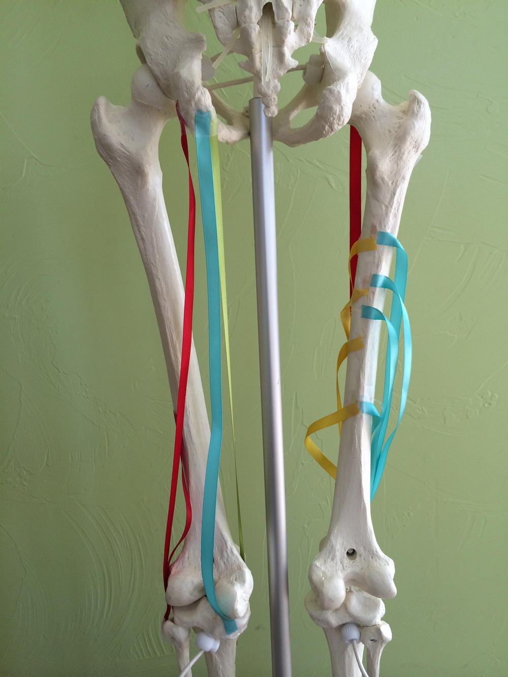 Hamstring Muscles from Andy's Online Anatomy Program